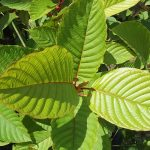 View Them Totally Neglecting Kratom Remove And Also Find Out The Lesson